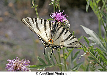 Scarce Swallowtail (Iphiclides podalirius), rare butterfly...