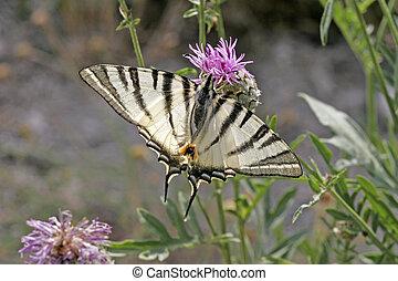 Scarce Swallowtail (Iphiclides podalirius), rare butterfly...