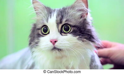 Scared Cat At Veterinary Clinic - This is a portrait of a...