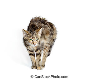 scared cat on a white background