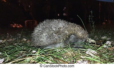 Scared European hedgehog during the night escapade. A small chihuahua dog in the background. Closeup shot, 4k