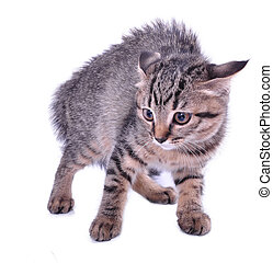 Small 3 months old kitten looking scared. Studio shot.