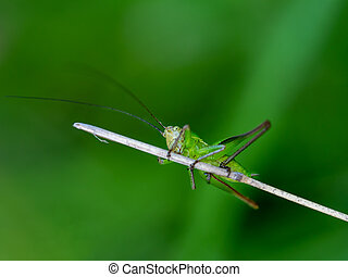 Scared, wary looking young green cricket.