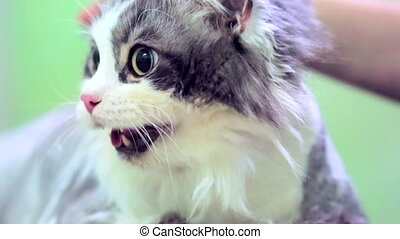 Scared White and Grey Cat With Open Mouth - Human hand...