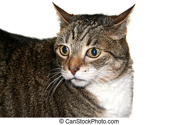 Scaredy Cat - Wide-eyed tabby cat with his head turned to...
