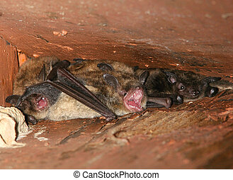 Scarey Little Brown Bats under the rafters of an old building