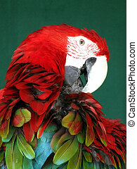 Scarlet and Blue macaw preening
