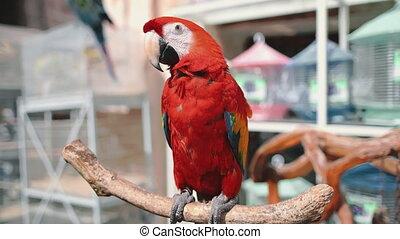 scarlet ara parrot close up in exotic bird market