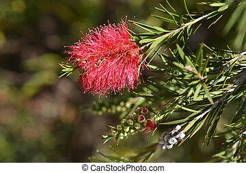 Scarlet bottlebrush flowers - Latin name - Callistemon ...