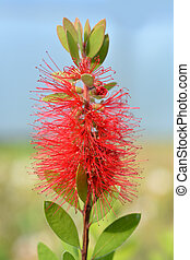 Scarlet Bottlebrush - Latin name - Callistemon Laevis