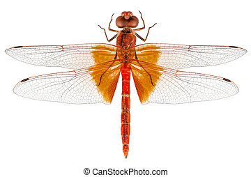 Scarlet Dragonfly species Crocothemis erythraea in high ...