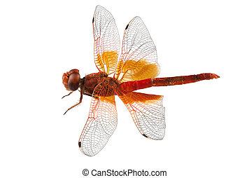Scarlet Dragonfly species Crocothemis erythraea in high...