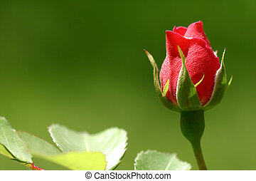 scarlet flowering rose with a bright green foliage