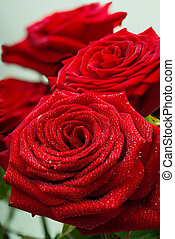Scarlet fresh roses with dewdrops on petals - Charming...