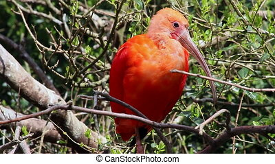 Scarlet Ibis (Eudocimus Ruber) Bird Perched on a Tree Branch