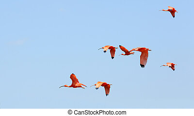 scarlet ibis, eudocimus, ruber