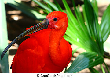 scarlet ibis, Eudociums rubber from South America, red...