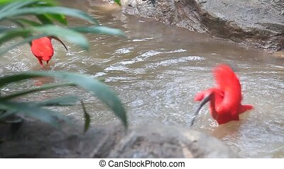 Scarlet ibis, hd - Scarlet ibis bathing and fighting,...