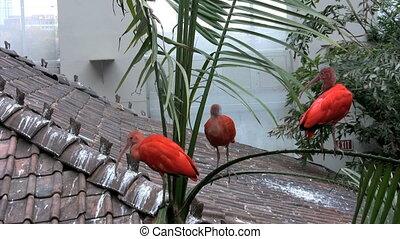 Scarlet Ibis - Three Scarlet Ibis