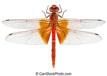 scarlet, libélula, espécie, erythraea, crocothemis