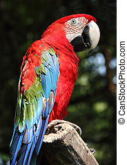 Scarlet macaw - A colorful scarlet macaw stand on a branch ...