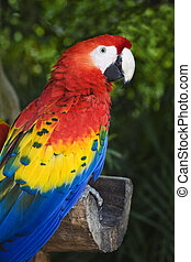Scarlet Macaw Ara macao is found in southern Mexico, Central...