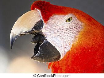 Scarlet Macaw Close Up Beak Open Ara Macao