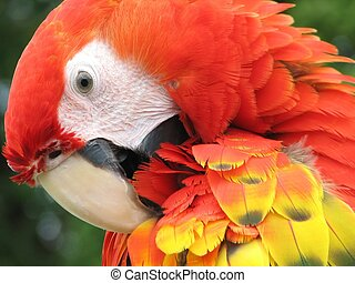 Scarlet Macaw - Close-up from a scarlet macaw's face.