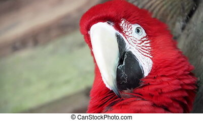 Scarlet Macaw Closeup - Closeup of a scarlet macaw looking...