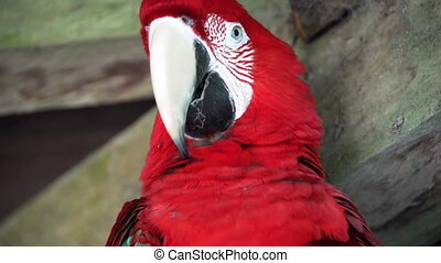 Scarlet Macaw Face - Closeup of a beautiful scarlet macaw in...