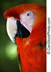Scarlet Macaw Head Close Up Red Plumage Close Up
