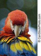 Scarlet Macaw - Head shot of a scarlet macaw.