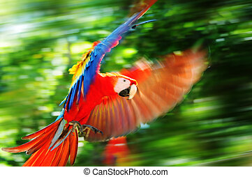 Scarlet macaw in Honduras - Wild parrot living in Copan, ...