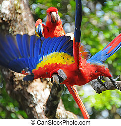 Scarlet macaw living in Honduras - Picture of a two colorful...