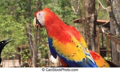Scarlet macaw, national bird of Honduras - Scarlet macaw...