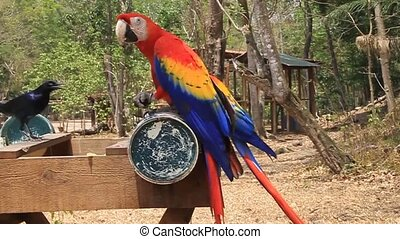 Scarlet macaw, national bird of Honduras - Scarlet macaw...