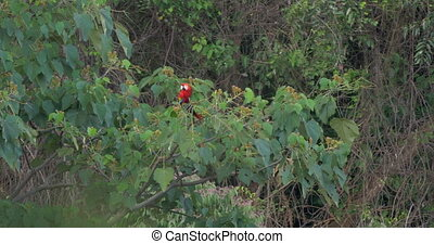 Scarlet Macaw On A Tree, Flying Away, Costa Rica - Native...