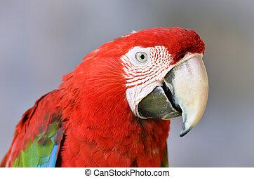 scarlet macaw or Ara macao
