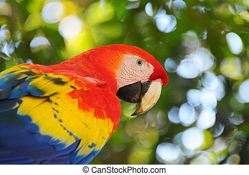 Scarlet macaw - Picture of a colorful scarlet macaw in...