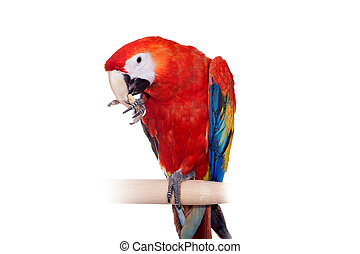 Scarlet macaws - Ara macao, eating on the white background