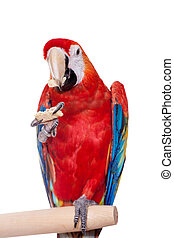 Scarlet macaws on the white background