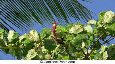 Scarlet Macaws Sitting On A Tree, Costa Rica