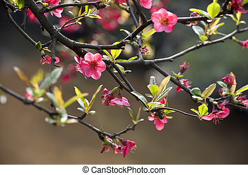 scarlet Malus spectabilis flower in a garden at spring
