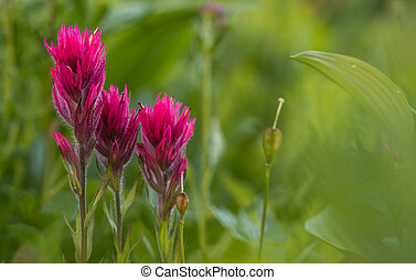 Scarlet Paintbrush with Copy Space