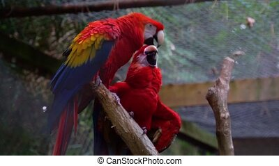 scarlet parrot couple kissing each other, birds expressing ...