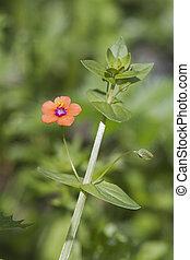 Scarlet Pimpernel (Anagallis arvensis) Wildlflower found in...