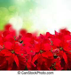 scarlet poinsettia flower or christmas star