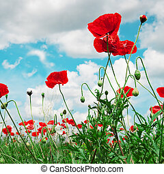 scarlet poppies on a background of the cloudy sky