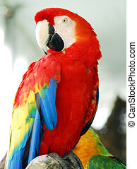 Scarlet Red Macaw Bird