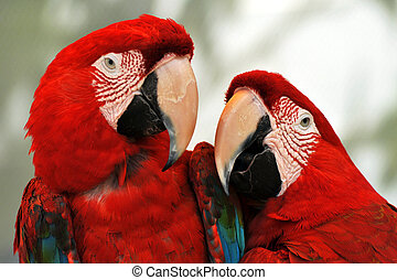 Two scarlet red Macaw Parrots.